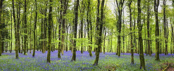 The Next Step. Bluebell Wood Hero Image